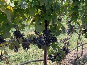 Rooted 2016 Grapes